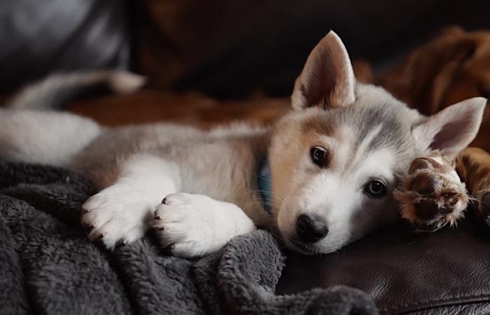 Ein Husky-Welpe auf einer Couch
