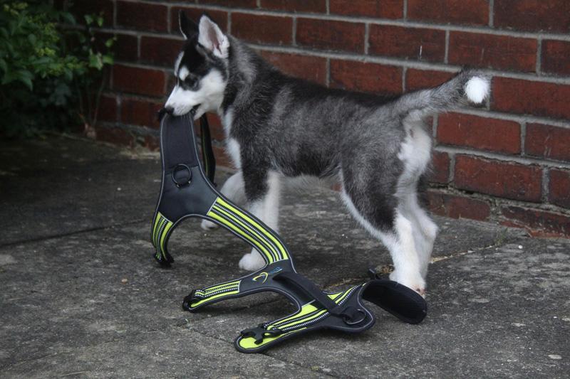Husky spielt mit einem Gurt