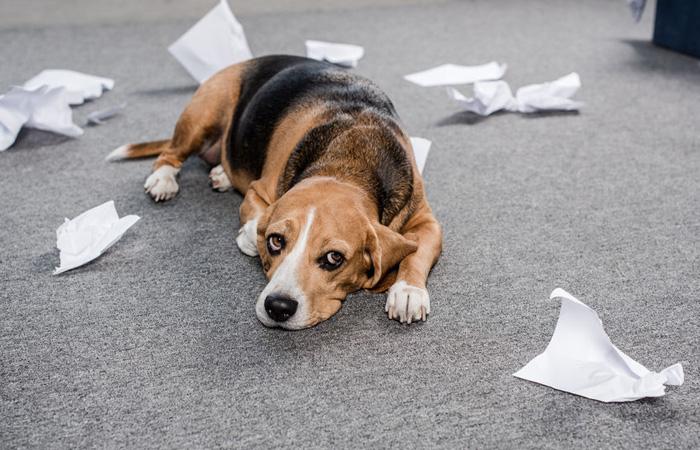 Beagle mit zerrissenen Papierstücken um sich herum