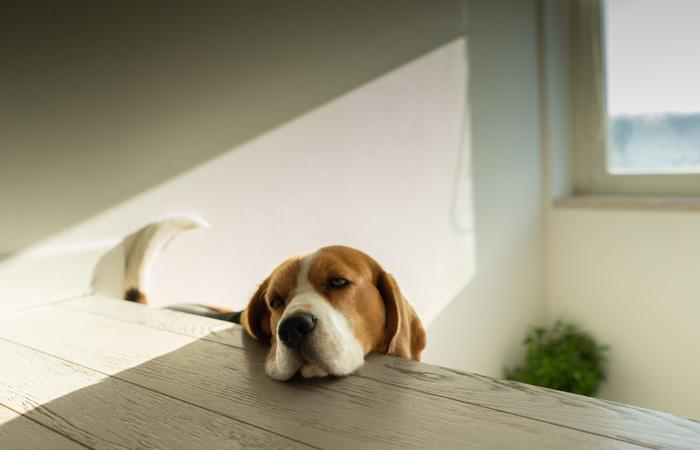 Beagle in der Wohnungshaltung