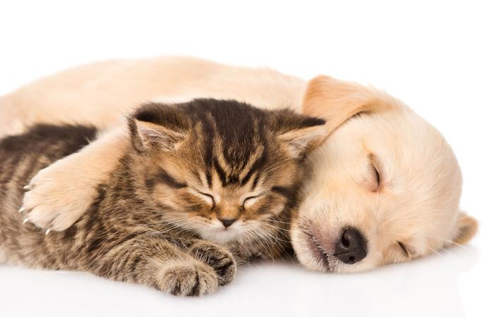 Golden Retriever und Katze