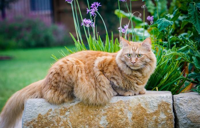 Maine Coon Katze sitzt auf einem Stein im Garten.
