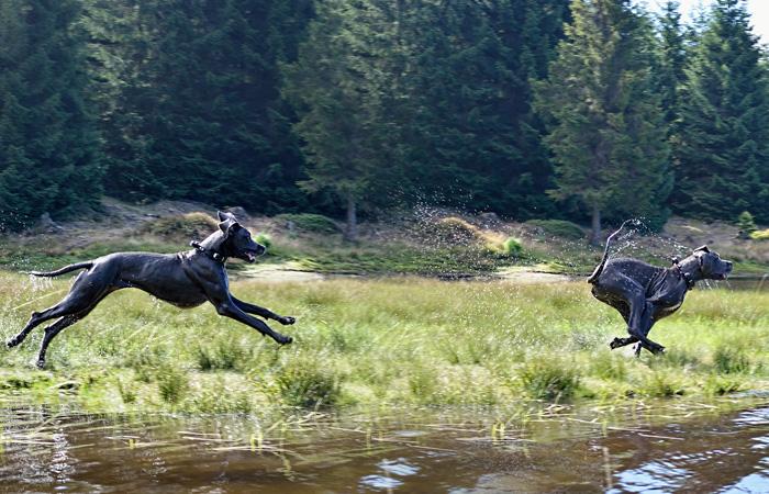 Deutsche Dogge rennt am Wasser entlang.