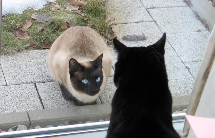 Siamkatze und Hauskatze beobachten sich durch ein Fenster.